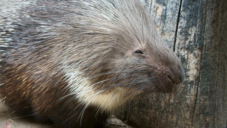 A porcupine.