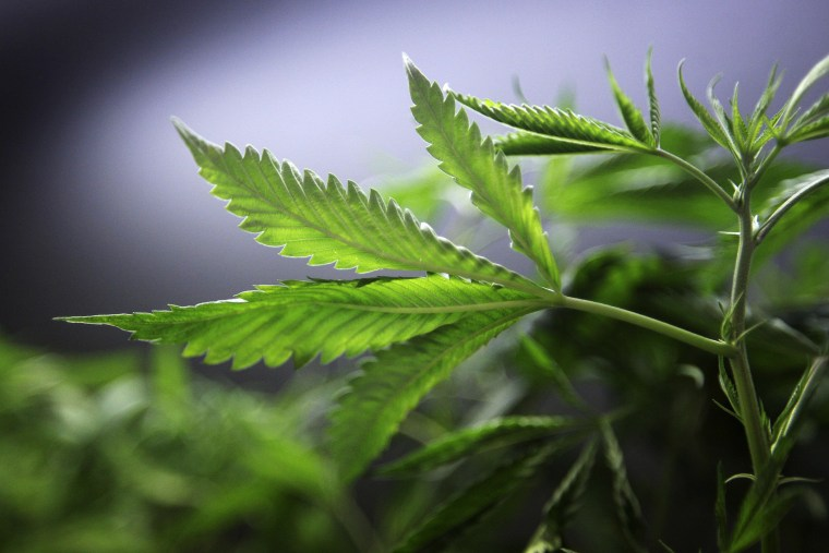 Marijuana plants for sale are displayed at the medical marijuana farmers market. (Photo by David McNew/Getty)
