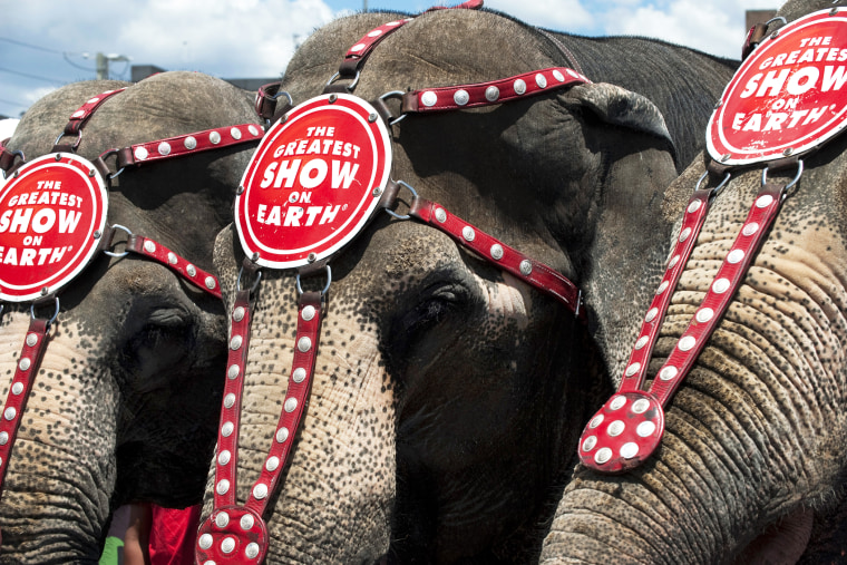 Ringling Bros. and Barnum & Bailey elephants Bunny, Susie and Minnie line up for a hot dog bun eating contest July 2, 2010 in Coney Island, New York. (Photo by Don Emmert/AFP/Getty)