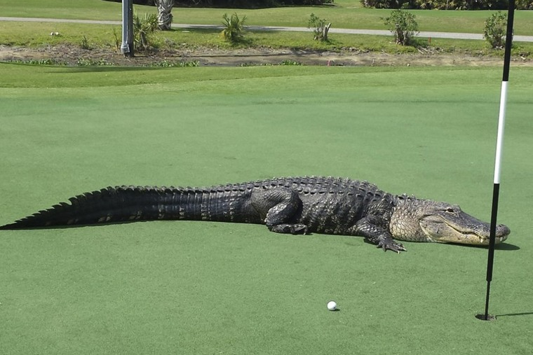 An American alligator estimated to be 12-13 feet long lies on the putting green of Myakka Pines Golf Club in Englewood, Florida in this handout photo courtesy of Bill Susie.