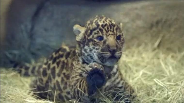 San Diego Zoo's newborn Jaguar cub. (Photo courtesy of San Diego Zoo)