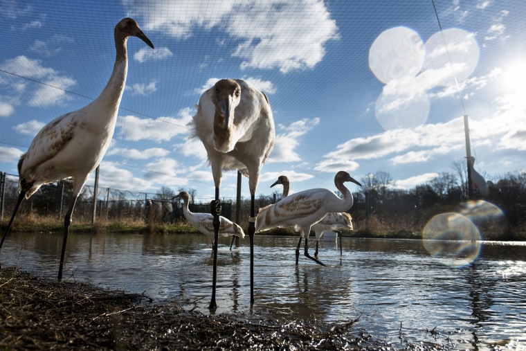 Whooping cranes being raised in captivity before being transferred to Louisiana are seen at the US Geological Survey's Patuxent Wildlife Research Center on Nov. 19, 2013 in Laurel, Md.