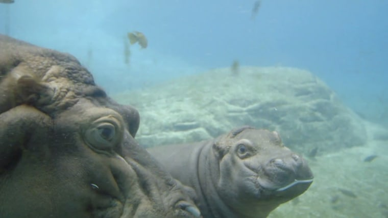 A baby hippopotamus swims in this screen grab from a video posted to YouTube by the Zoological Society of San Diego, showing the San Diego Zoo's latest exhibit, May 22, 2015. (Photo courtesy of the Zoological Society of San Diego)