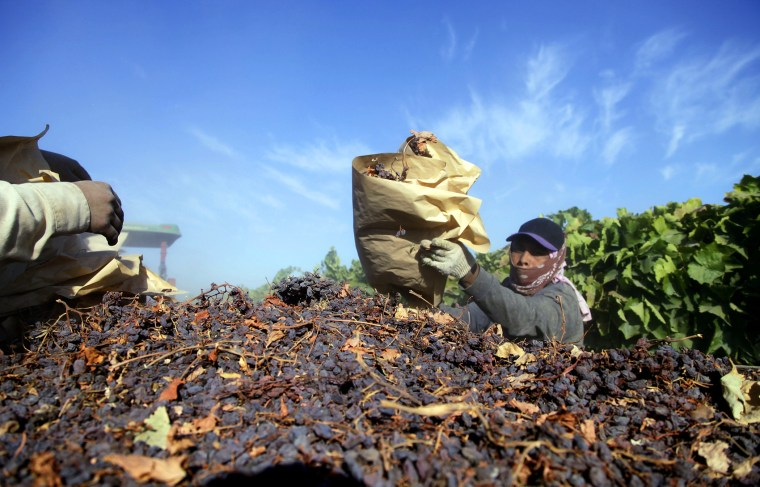 In this Sept. 24, 2013 photo farm workers heap dried raisins onto a trailer in the final step of raisin harvest near Fresno, Calif. (Photo by Gosia Wozniacka/AP)
