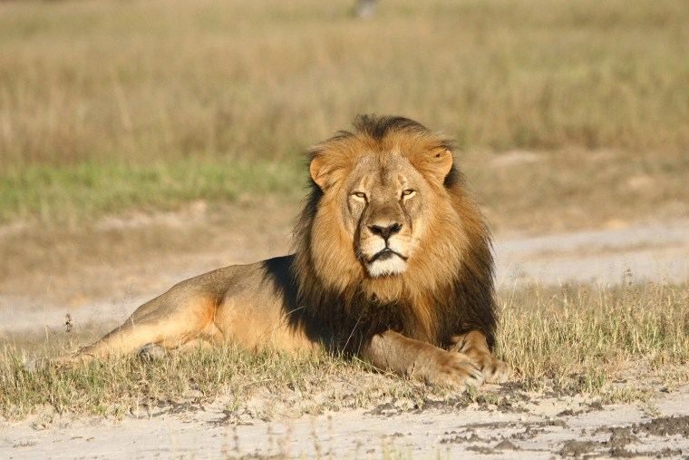 In this undated photo provided by the Wildlife Conservation Research Unit, Cecil the lion rests in Hwange National Park, in Hwange, Zimbabwe. (Photo by Andy Loveridge/Wildlife Conservation Research Unit/AP)