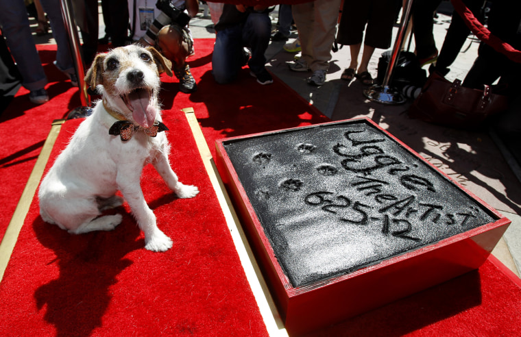 """The dog Uggie, featured in the film """"The Artist"""", is pictured after leaving his paw prints in cement in the forecourt of the Grauman's Chinese theatre in Hollywood, Calif., June 25, 2012. (Photo by Mario Anzuon/Reuters)"""