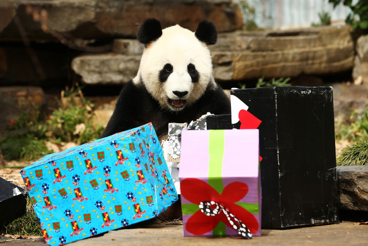 Fu Ni the giant panda is treated to specially prepared panda treats for her birthday at the Adelaide Zoo on August 23, 2015 in Adelaide, Australia. (Photo by Morne de Klerk/Getty)