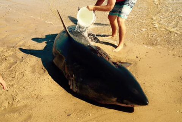 A stranded Great White shark on Whitecrest Beach in Mass. on Sept. 6, 2015. (Photo by Wellfleet, Massachusetts Police Department)
