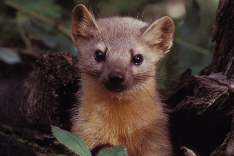A Pine Marten, close cousin to the rare Humboldt Marten, poses for an official photo. (Photo by United States Fish and Wildlife Service/Wiki)