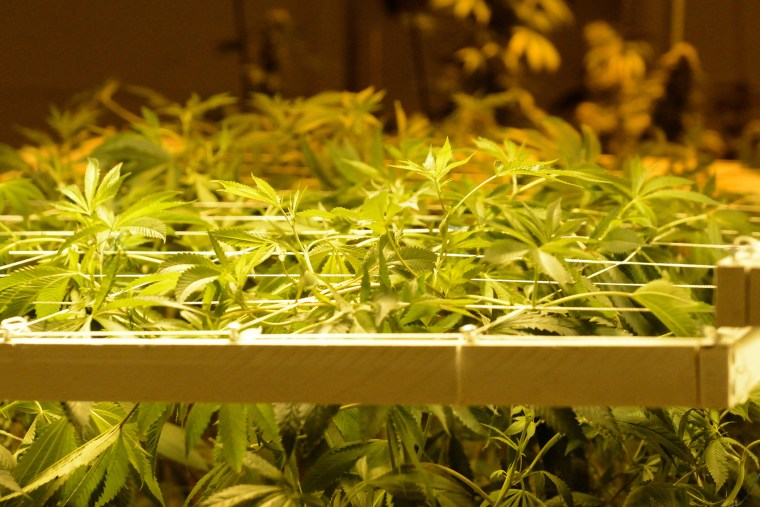 Marijuana plants are seen under multi-colored grow lights in the growing rooms at the Denver Discreet Dispensary in Denver, Colo., Jan. 1, 2014. (Photo by Bob Pearson/EPA)