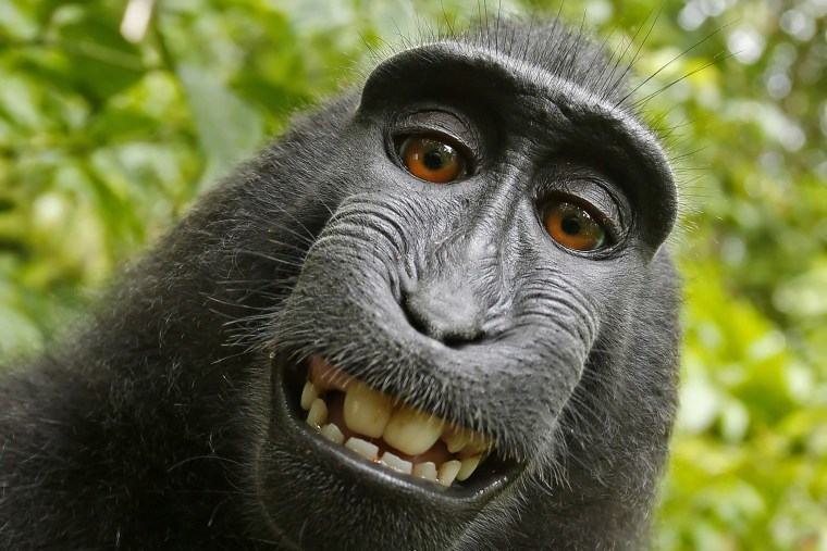 A macaque monkey takes a selfie on the Indonesian island of Sulawesi with a camera owned by British nature photographer David Slater. (Photo by Naruto the Macaque/David Slater/PETA/AP)