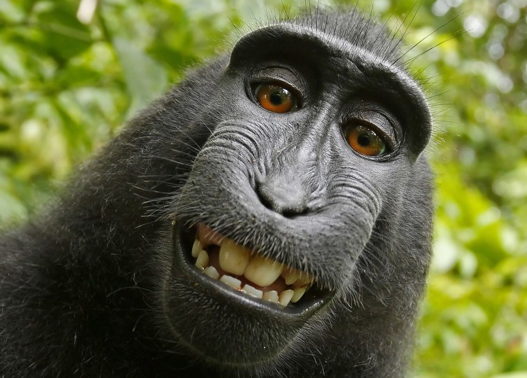 This 2011 photo provided by PETA shows a selfie taken by a macaque monkey on the Indonesian island of Sulawesi with a camera that was positioned by British nature photographer David Slater. (Photo by David Slater/Court exhibit provided by PETA/AP)