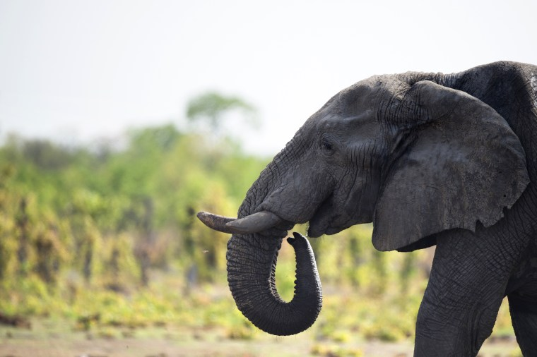 An African elephant is pictured on Nov. 18, 2012 in Hwange National Park in Zimbabwe. (Photo by Martin Bureau/AFP/Getty)
