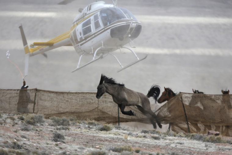 Several wild horses escape as a helicopter is used by the Bureau of Land Management (BLM) to gather wild horses into a trap south of Garrison, Utah