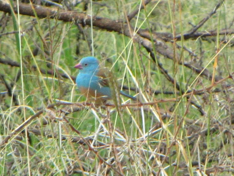 Blue-capped Cordon-bleu (Uraeginthus cyanocephalus) taken in Ngorongoro Park, Tanzania