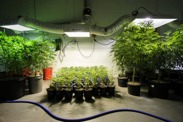 Marijuana plants stand in a room at the grow facility in Denver, Colo., on Dec. 9, 2015. (Photo by Matthew Staver/Bloomberg/Getty)