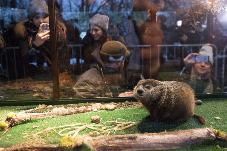 Groundhog Staten Island Chuck is seen in his viewing unit, a box with clear plastic sides and fake turf, during a Groundhog Day weather prediction event at the Staten Island Zoo in N.Y. on Feb. 2, 2015. (Photo by Stephanie Keith/Reuters)