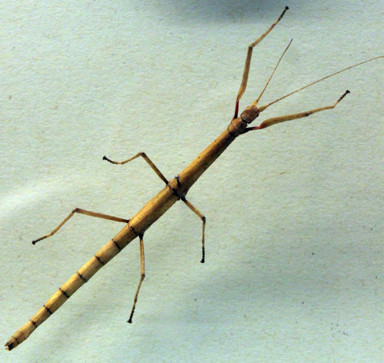 Indian Stick Insect (carausius morosus), Museum of Natural History Berlin