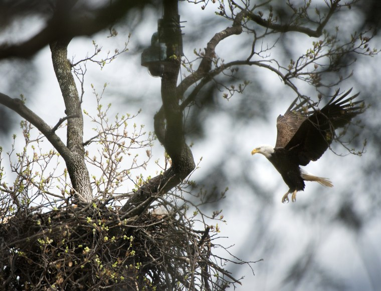 Spelling his female mate, a male Bald Eagle lands on his nest containing two eggs at the U.S. National Arboretum in Washington, DC on March 11, 2016. (Photo by Linda Davidson/The Washington Post/Getty)