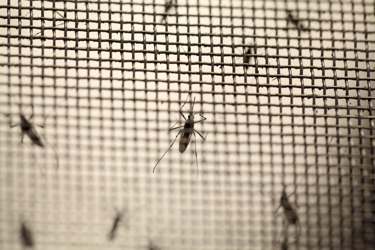 Aedes aegypti mosquitoes are seen at the Laboratory of Entomology and Ecology of the Dengue Branch of the U.S. Centers for Disease Control and Prevention in San Juan, Puerto Rico on March 6, 2016. (Photo by Alvin Baez/Reuters)