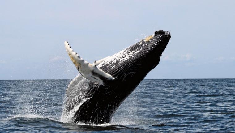 Whale, breaching, Stellwagen Bank National Marine Sanctuary, August 20, 2007.