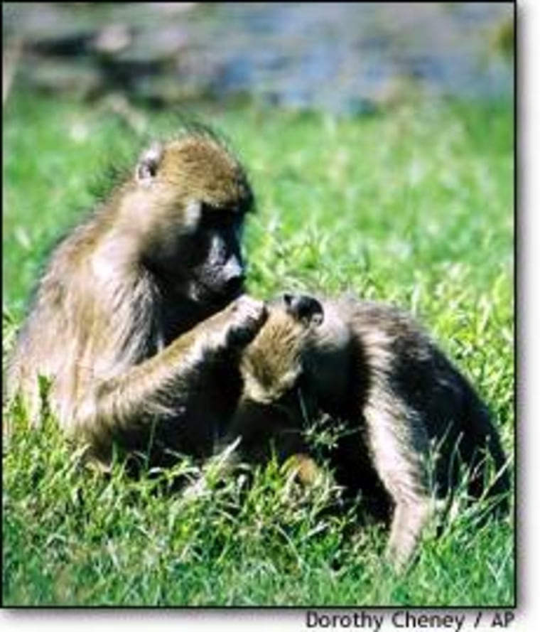 One of the ways baboons socialize is by grooming each other, as in this photo of one adult female baboon grooming her sister.