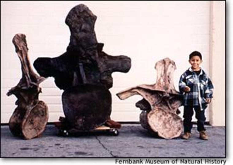 Some of the fossil vertebrae from the Argentinosaurus, found in Argentina's Patagonia region, are bigger than a child.