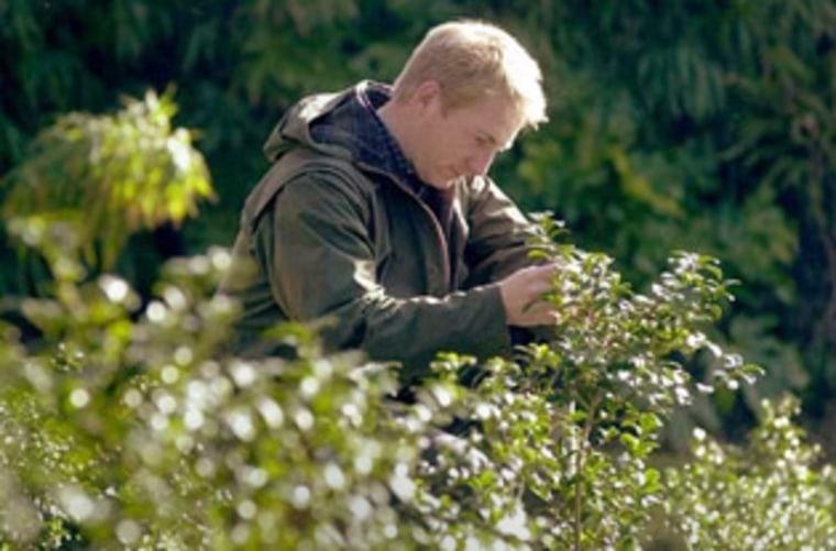 Jonathon Jones, head gardener at the Tregnothnan Estate in England, examines tea plants.