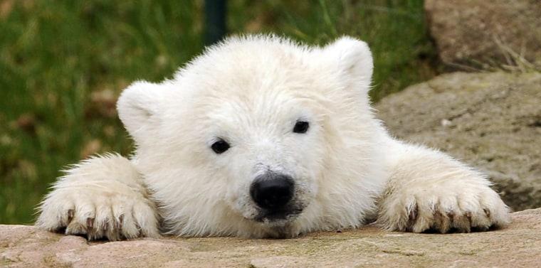 Image: Polar bear cub Flocke.