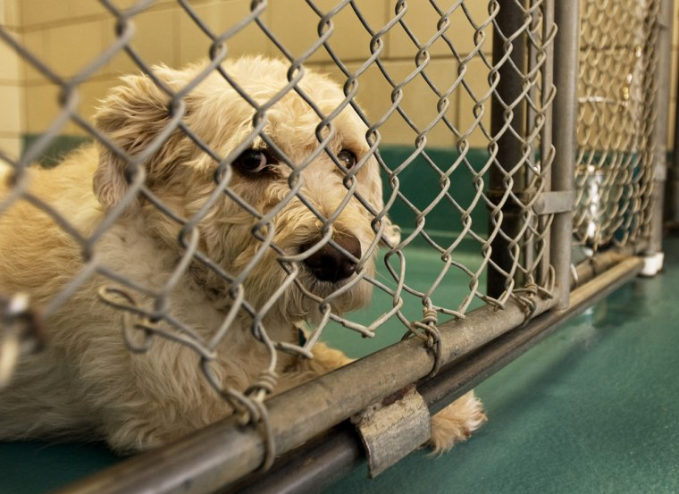 Teddy, a 4-year-old mixed breed dog that was recently surrendered by his owner to the Fairfax County Animal Shelter, sits in his pen,waiting for adoption.