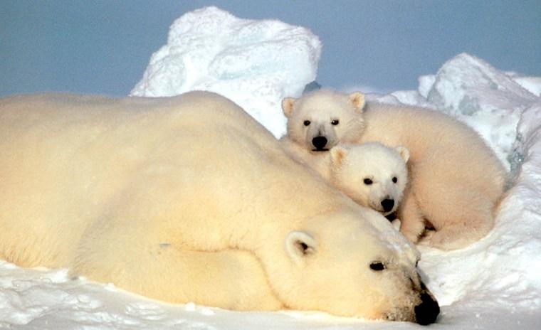 Image: polar bears