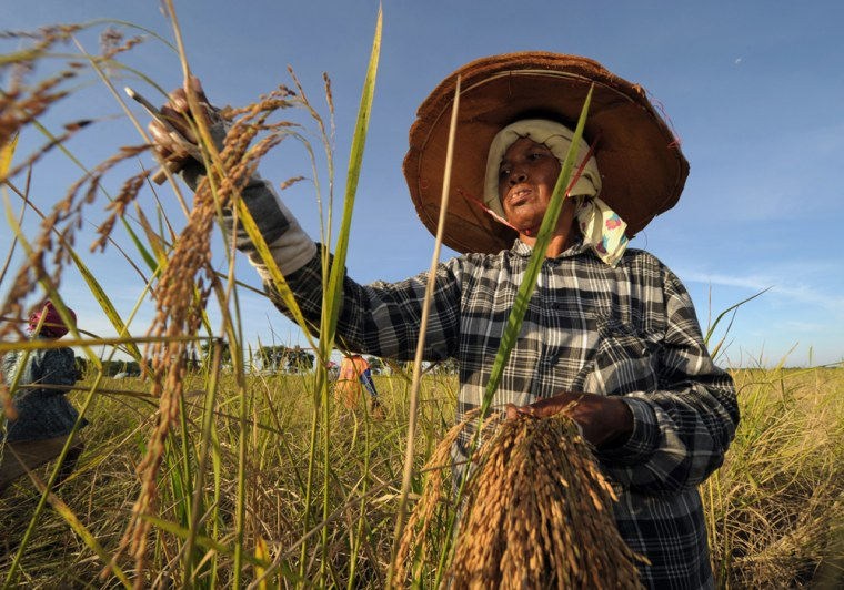 Image: Thai farmers harvest rice in a field in Thailand
