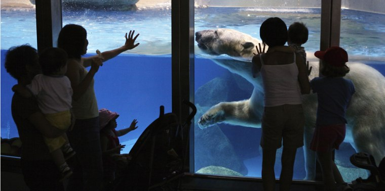 Image: Visitors reach out to touch the enclosure as Inuka the polar bear swims past at the Singapore Zoo