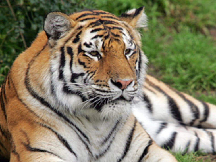 An undatedphoto provided by the San Francisco Zoo shows Tatiana, a female Siberian tiger that escaped its enclosure and killed one man and injured two others on Dec. 25.