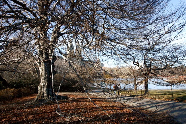 """Image: This 100-year-old European beech on Central Park's Cherry Hill,  shown Wednesday, Jan. 9, 2008, was chosen by city officials as the first of 25 \""""historical\"""" trees to be cloned as part of a plan to add a million new trees to streets, parks and publi"""