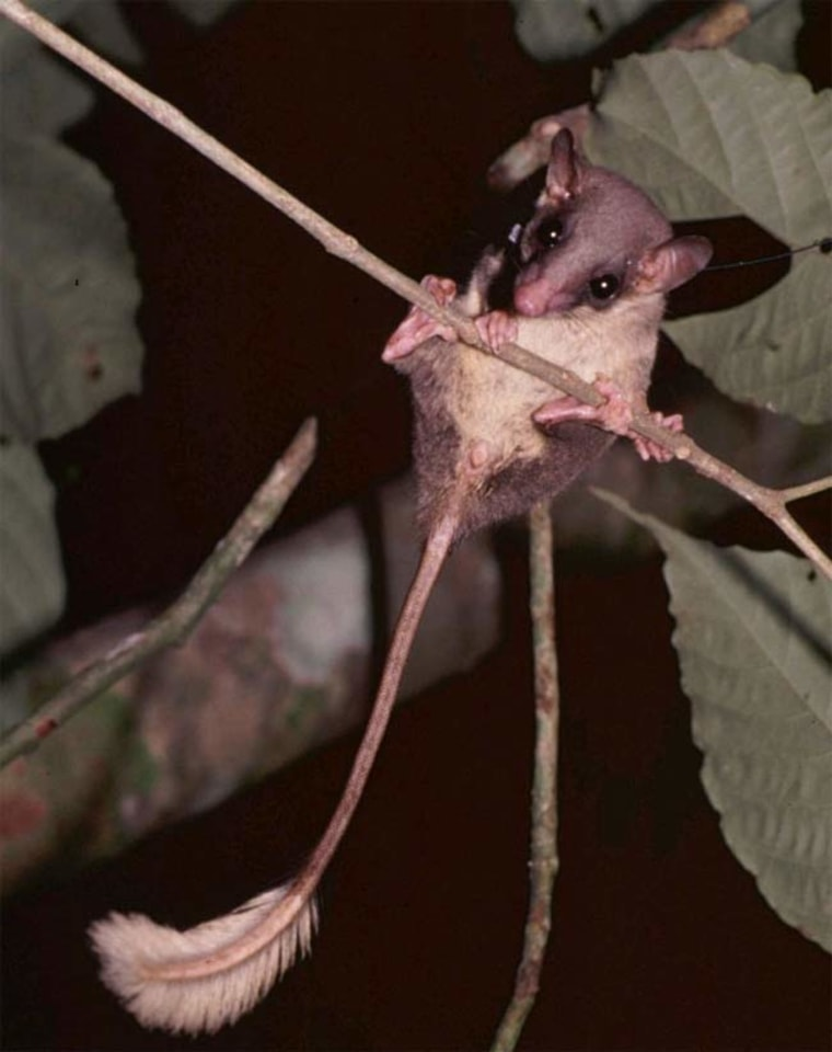 A pen-tailed tree shrew with a radio collar. Credit: Annette Zitzmann