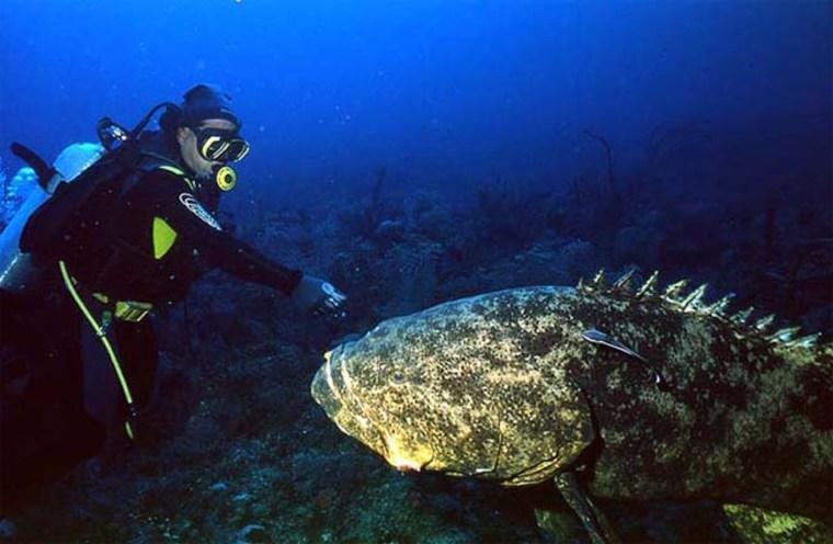 Image: Goliath grouper