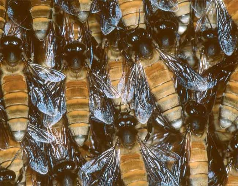 Giant honeybees, native to Asia, can be twice the size of Western honeybees. This species performs a shimmering wave to ward off predatory wasps. Credit: Gerald Kastberger.