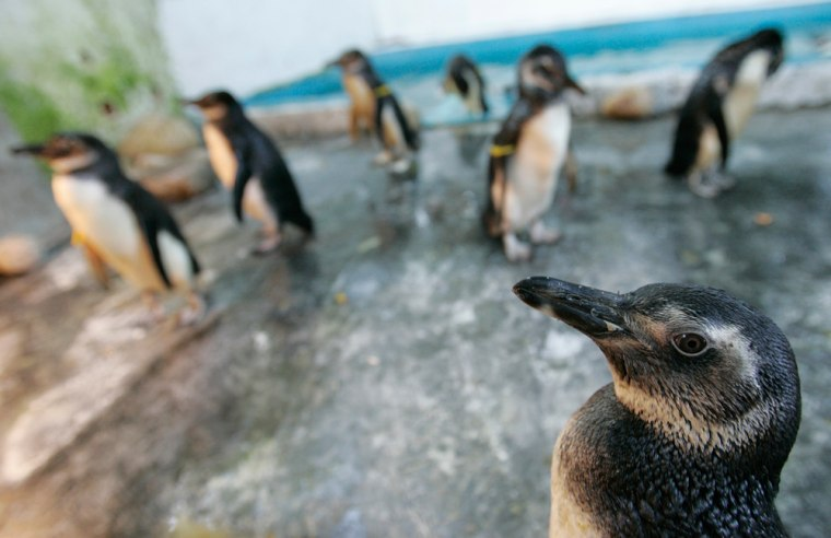 Image: Penguins in Brazil
