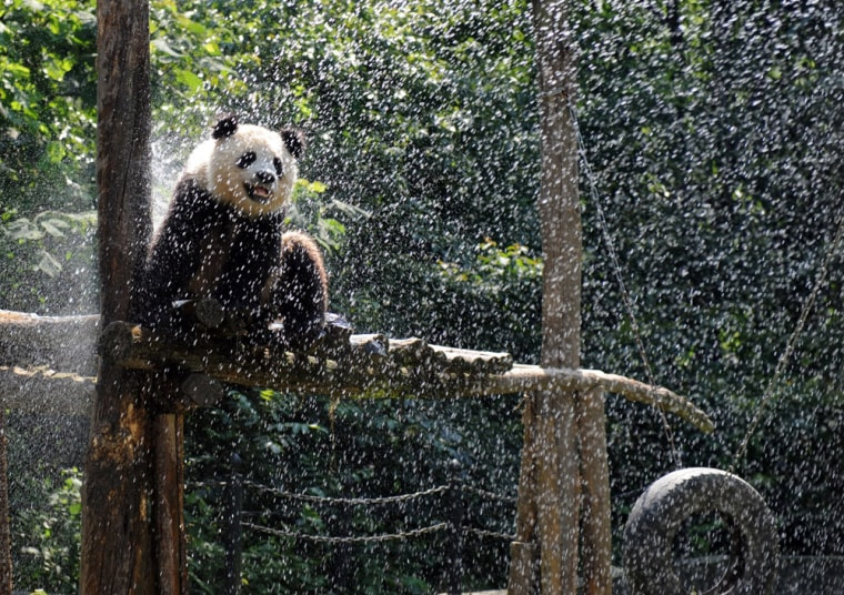 Image: Giant Pandas From Quake-Hit Area Transfered