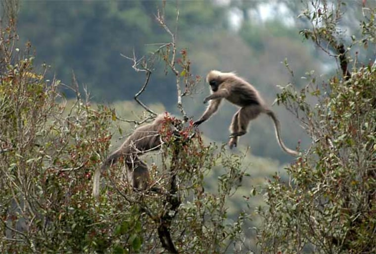 The kipunji monkey is one of more than 120 species of animals found only in the Southern Highlands of Tanzania.