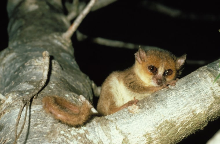 Berthe's mouse lemur, a native of Madagascar, is one of the smallest primate species. Experts warn that some smaller primates could die out even sooner than great apes if habitat loss and hunting continue.