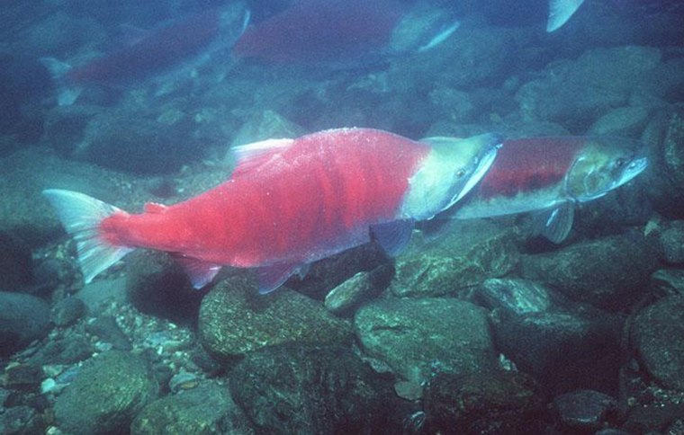 Sockeye are among the 28 species of Pacific salmon classified as threatened or endangered.