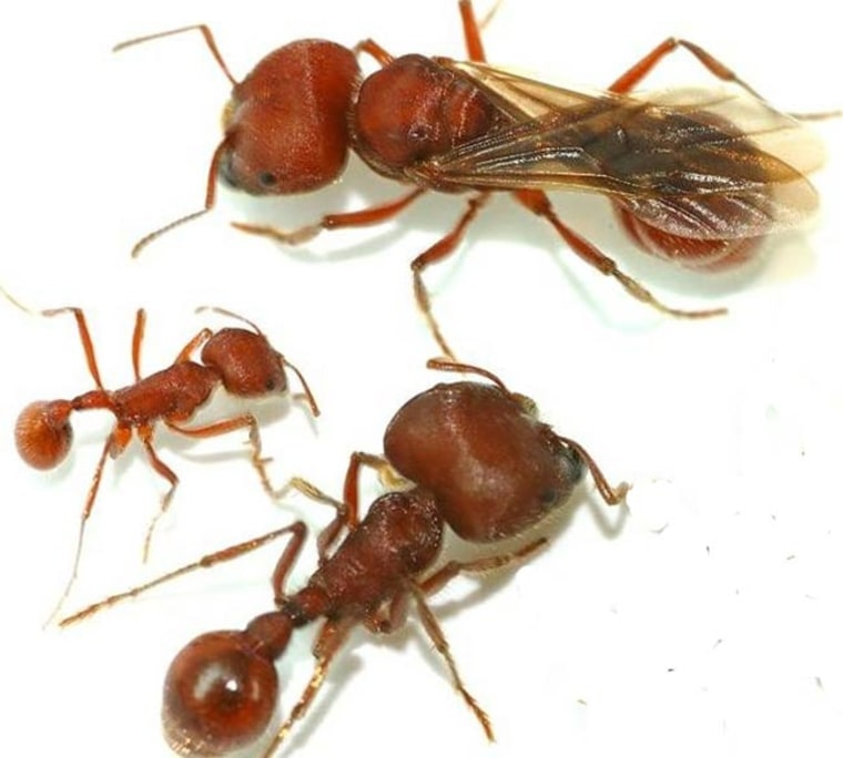 The three female castes of the Florida harvester ant, Pogonomyrmex badius include (clockwise from the top): new queen, major worker, minor worker. Credit: Adrian A.Smith.