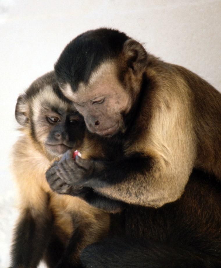 Image: Capuchin monkeys
