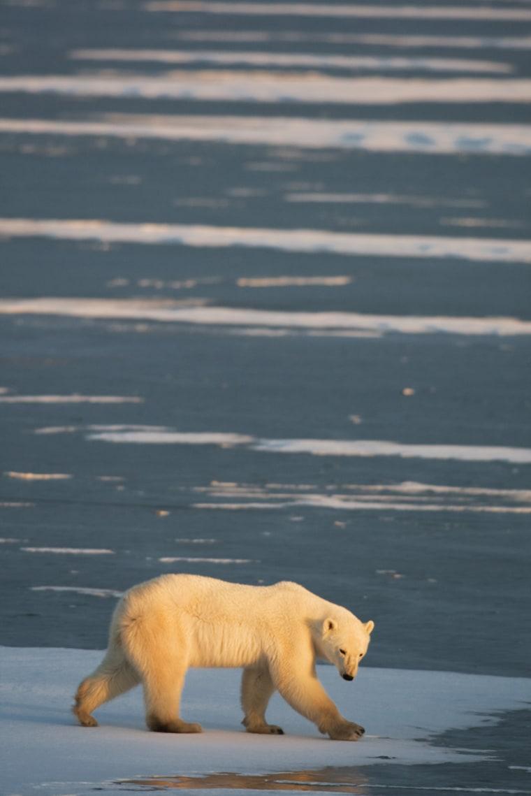 Image: A Polar Bear is seen outside Churchill, Manitoba, Canada