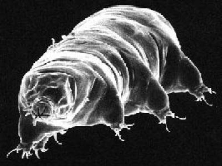 Water bears, known formally as tardigrades, are speck-sized things, less than 1.5 millimeters long. They live on wet lichens and mosses, but when their environment dries out, they just wait for a return of water.