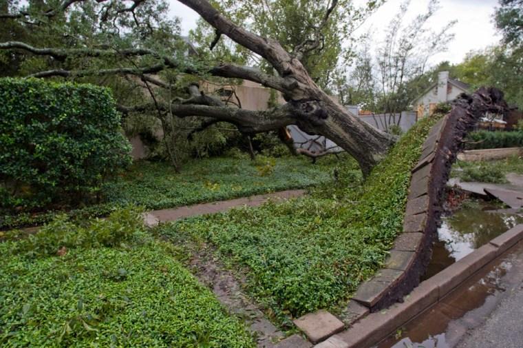 Image: An uprooted oak tree