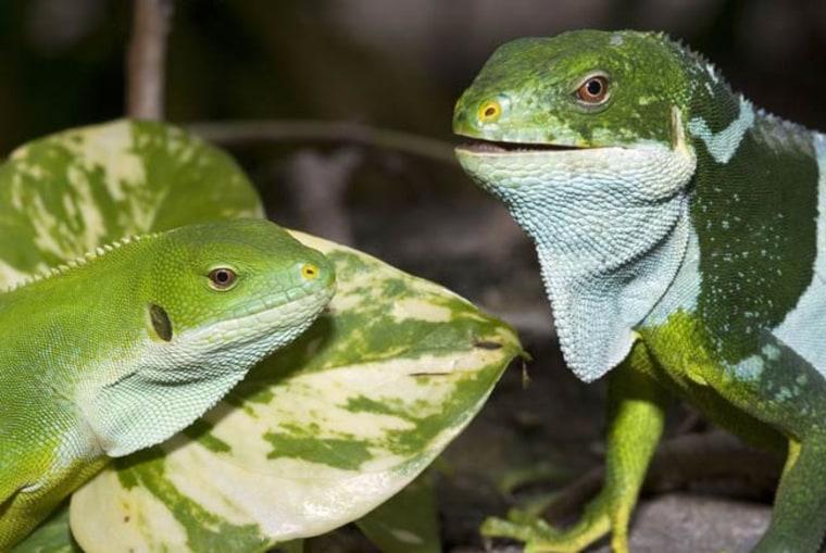 Image: New iguana species