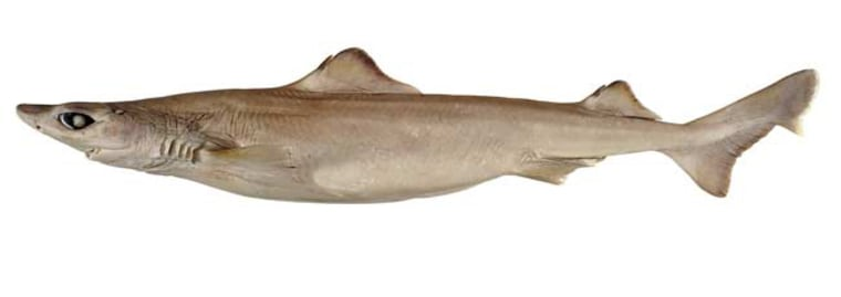 Image: Southern dogfish